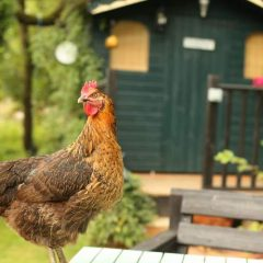 Chicken in front of Coop